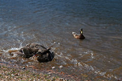 Duck fight in Lake Estes Park Colorado Royalty Free Stock Photo