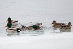 Duck fight Stock Images