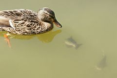 Duck with fish. Female mallard duck watching catfish Royalty Free Stock Images