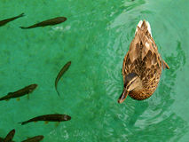 Duck swimming with fish Royalty Free Stock Photos