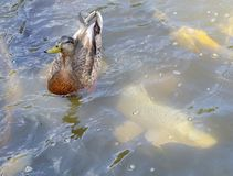 Duck and Fish Swimming Together Stock Image