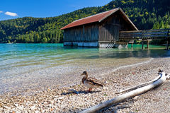 Duck by fisherman hut on Walchensee Royalty Free Stock Photos