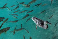 A duck and fishes. A duck surrounded by fishes in the blue water of Plitvice lakes, Croatia Stock Photo