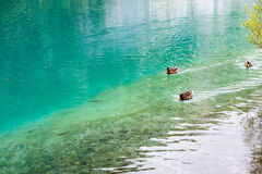 Duck and fishes in water of Plitvice Lakes, Croatia Stock Photo