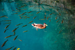 Duck and fishes in water of Plitvice Lakes Stock Images