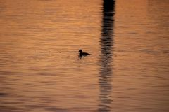 Duck is fishing in Mission Bay alongside reflectio of sailboat mast. San Diego, CA royalty free stock photo