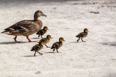 Duck and five ducklings. Five cute ducklings running after their mother Stock Photography