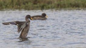 Duck Flapping Feathers dal becco giallo fotografie stock libere da diritti