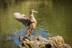 Duck flapping its wings. Duck standing on a tree stump and flapping its wings Royalty Free Stock Images