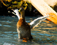 Duck Flapping its wings. Stock Photo