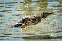 Duck is flapping. In a lake or a pond Stock Photos