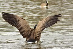 Duck flapping it& x27;s wings to take in flight stock image