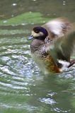 Duck flapping wings Royalty Free Stock Image