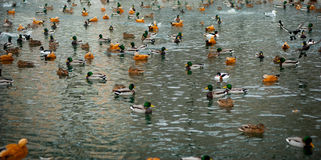 A duck flapping by wings among the duck flocks on the ice of the Stock Image