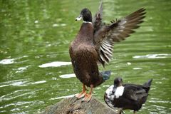 Duck Flapping Wings i den Medellin botaniska trädgården royaltyfri foto