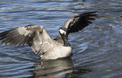 Duck flapping wings Stock Image