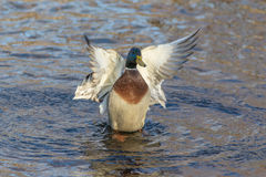 Duck flaps its wings on the water. Portrait of a duck on the water in motion Royalty Free Stock Photography