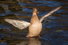 Duck flaps wings Stock Photography