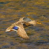 Duck flies over the river. Wild duck flies over the river Royalty Free Stock Photos