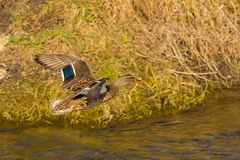 Duck flies over the river. Wild duck flies over the river Stock Photography