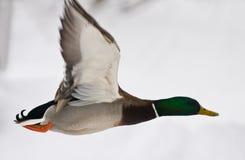 Duck in flight stock photo