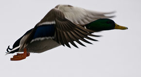 Duck in flight Royalty Free Stock Image