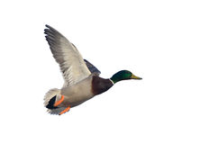 Duck in flight Stock Images