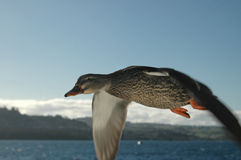 Duck in Flight 3 Stock Photo