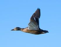 Duck in flight. Female mallard duck in flight against blue sky stock photo