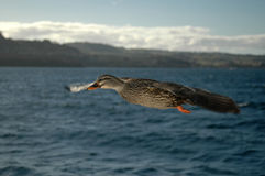 Duck in Flight 4 Stock Photos
