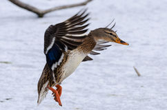 Duck in flight. A female ducking in flight Royalty Free Stock Photos