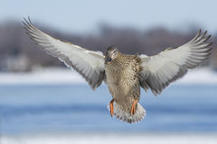 Duck in flight Royalty Free Stock Photo