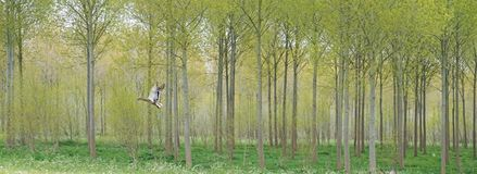 Duck in flight. Impressionist picture of a duck in flight in front of a wood plantation Stock Photos