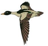 Duck In Flight Stock Image