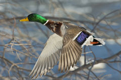 Duck in flight Royalty Free Stock Photography