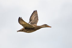 Duck Flight Royalty Free Stock Photography