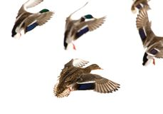Duck in flight on a white background.  Royalty Free Stock Photos