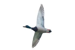 Duck in flight on white Stock Photo