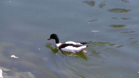 Duck float on surface pond stock footage