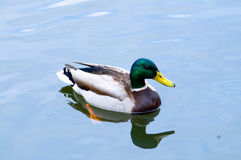 Duck floating Royalty Free Stock Image