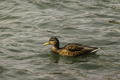 Duck floating on a Bow River. In prince`s island park close to Calgary downtown stock photos