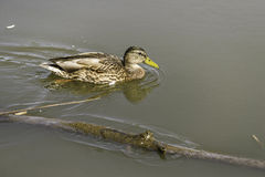 Duck floating on Bow River water. At Prince`s Island Park close to Calgary downtown stock photos