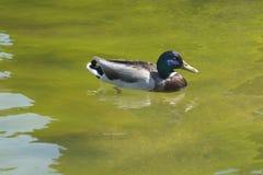 Duck Floating en una charca Foto de archivo