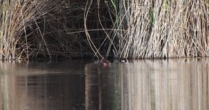 Duck Floating ferruginoso sullo stagno archivi video