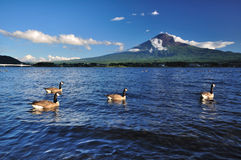 Duck floating in lake. At Mt. Fuji royalty free stock image