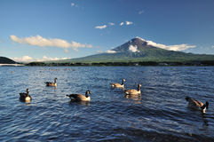 Duck floating in lake. At Mt. Fuji royalty free stock photography