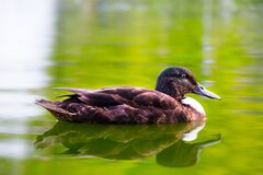 Duck floating on a lake Royalty Free Stock Photography