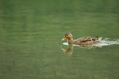 Duck. Floating on the lake royalty free stock photography