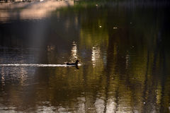 Duck floating on the lake in the rays of the setting sun Stock Photos