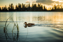 Duck floating on the lake Stock Photo